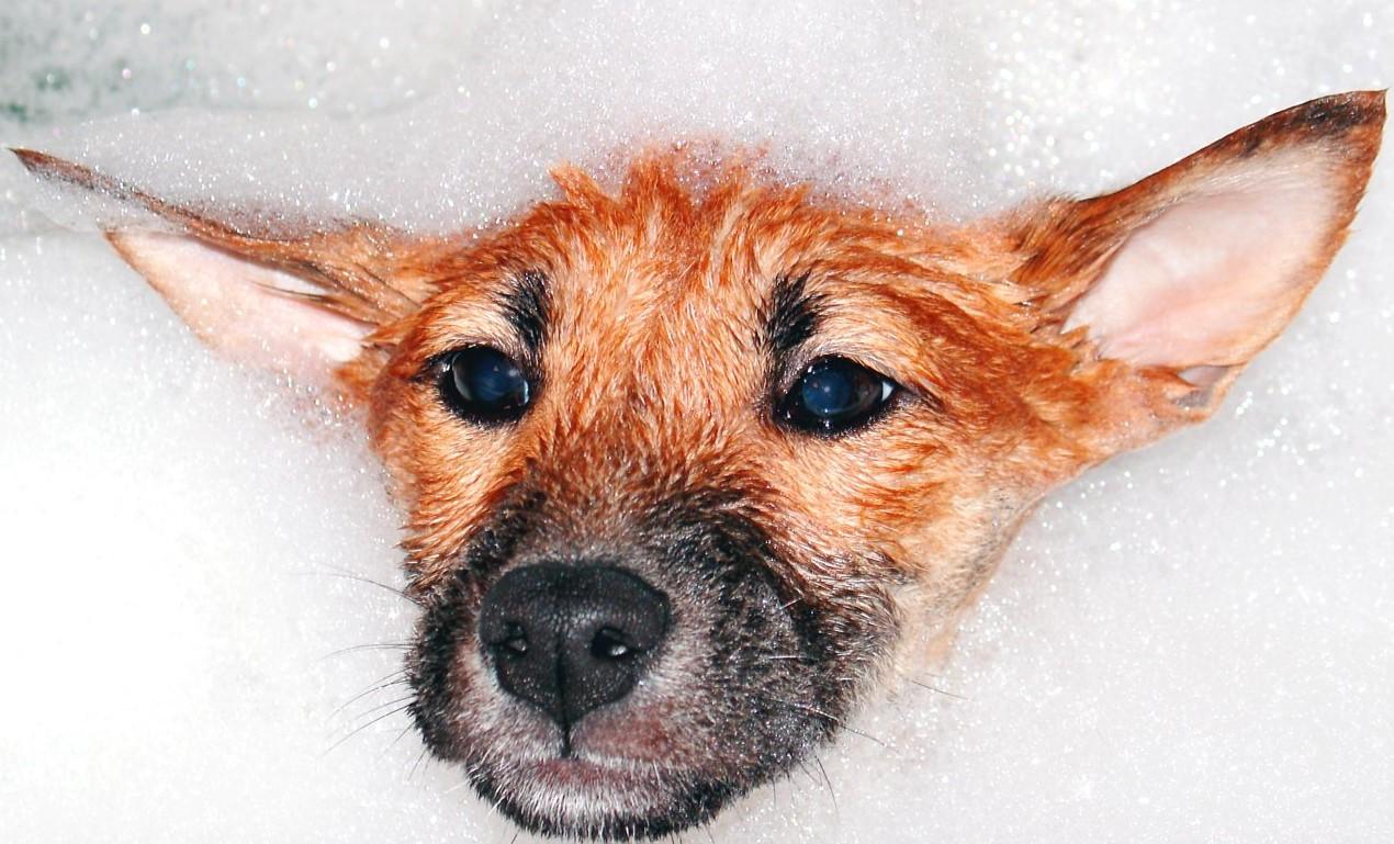 Perro grande, cómo bañarlo