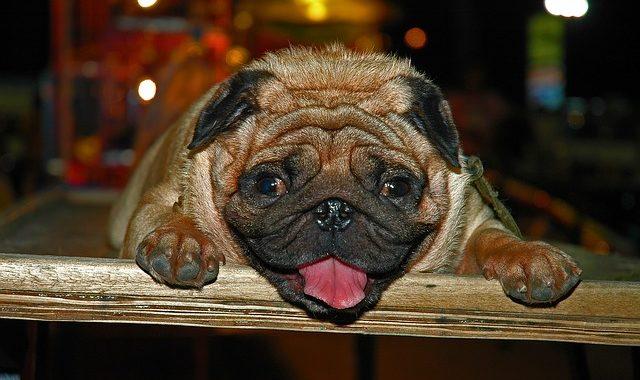 Perro mas feo del mundo