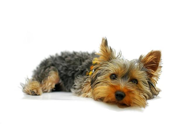 Perro yorkshire terrier