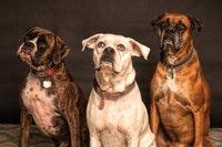 Diabetes En Perros Pequeños