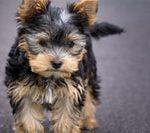Yorkshire Terrier, una de las razas más famosas